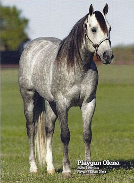 Quarter Horse Stallion Playgun Olena