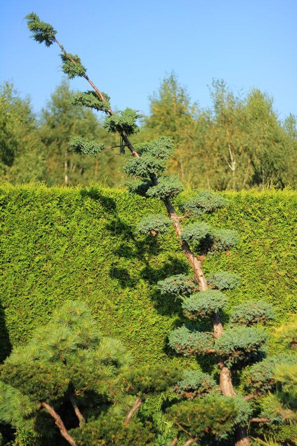 Bonsai Park Jałowiec