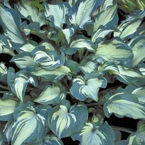 #Hosta Guardian Angel has large leaves with unusual color patterning: in the spring, the center of each new leaf is bright white, while the margins are cool blue! This is the just the opposite of normal hosta leaf patterns. Clusters of light lavender flowers are produced midsummer. Guardian Angel is a low care #perennial and is ideal for shady positions in zones 3-9.