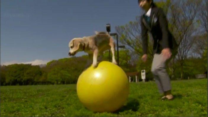 Бигль устанавливает второй мировой рекорд — видео