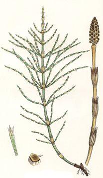 Přeslička roľná