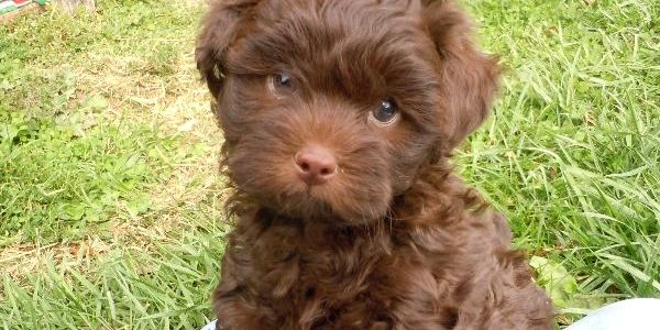 Shih poo puppies for sale and sparkle on pinterest