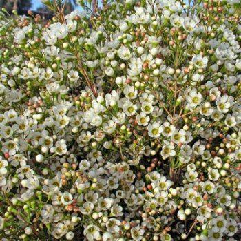 cream wax flower