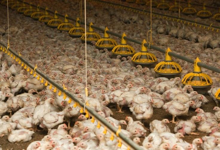 Bodenhaltung: Tausende Hühner in einem Stall eines Geflügelmastbetriebes im brandenburgischen Storkow (Archivbild).