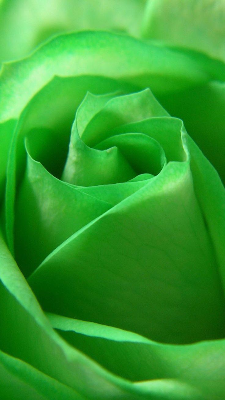 Green Rose  ᘡℓvᘠ □☆□ ❉ღ happily // ✧彡●⊱❊⊰✦❁❀‿ ❀ ·✳︎· TUE APRIL 11 2017 ✨ ✤ॐ ✧⚜✧ ❦♥⭐ ♢∘❃ ♦♡❊ нανє α ηι¢є ∂αу ❊ღ༺✿༻✨♥♫ ~*~ ♆❤ ☾♪♕✫❁✦⊱❊⊰●彡✦❁↠ ஜℓvஜ .