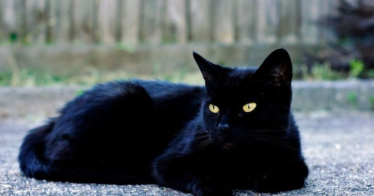 Throughout history, black cats have brought luck, both good & bad, to all types of cat owners.