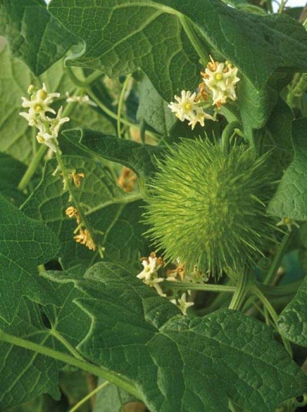 Oil Edible Plants : Best more edible plants images on pinterest
