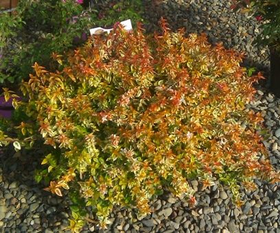abelia kaleidoscope low hedge changes colour all year. Black Bedroom Furniture Sets. Home Design Ideas