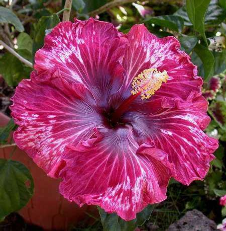 This is one of the most beautiful hibiscus I have ever seen!!!!