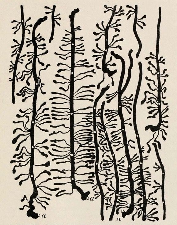 "nemfrog:  ""Work of Black Hills bark beetle on the inner surface of living bark."" Insects and human welfare. 1920."