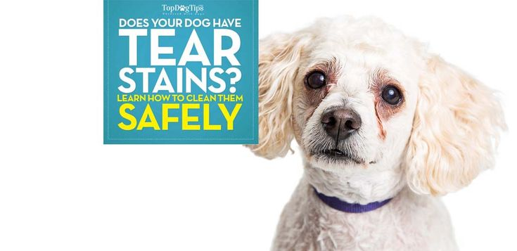 You can see all the steps in the above video, or read the full instructions below. But I also want to talk briefly about epiphora in dogs and what pet owners must know. For example, there is a common misconception about epiphora is that tear stains only occur in light colored breeds. That is not true. So here's what you should know first. #dogcare #dogs #pets #videos #youtube #tearstains #tears #dog