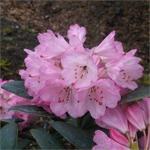 Rhododendron principis 'Lost Horizon' KW 5656