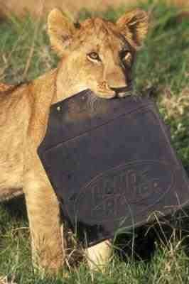 A lion cub snacking on a Land Rover mudflap!