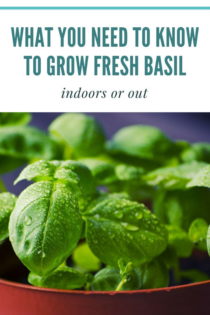 What you need to know to grow fresh basil — indoors or out