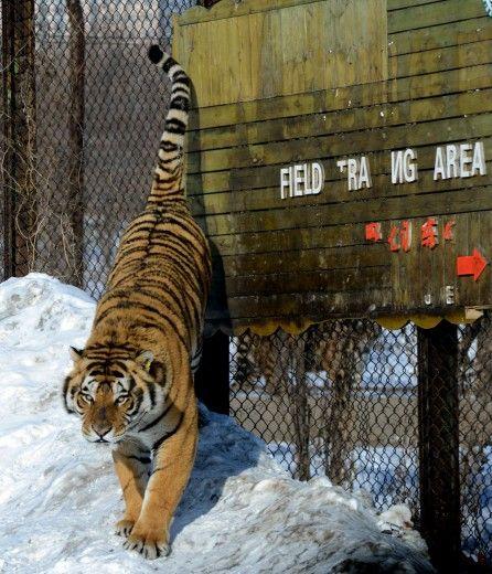 Harbin, il parco della tigre siberiana è in Cina