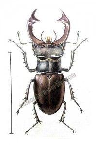 8 beste afbeeldingen vliegend hert insecten kevers