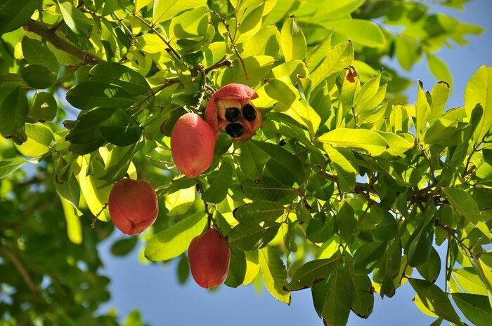 Ackee tree with crazy fruit!