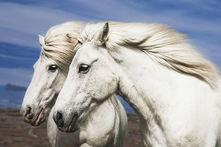 High quality photography of two white horses. - When you order this picture as poster: You will receive a vibrant poster print on Kodak professional 9 mil / 255 gsm resin coated photo paper with a glo