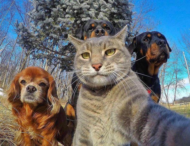 """Olá, mundo! É hora de conhecer o #diadafofura de hoje. Este é Manny (@yoremahm) — também conhecido como """"O Gato da Selfie"""" — que, como você pode ver, conhece o poder de um retrato. Este gato cinzento resgatado é frequentemente visto posando com amigos caninos e está sempre arranhando para ser o centro das atenções em suas fotos. Não perca nenhuma de suas aventuras felinas ao ar livre. Siga @yoremahm agora mesmo.  Foto de @yoremahm"""