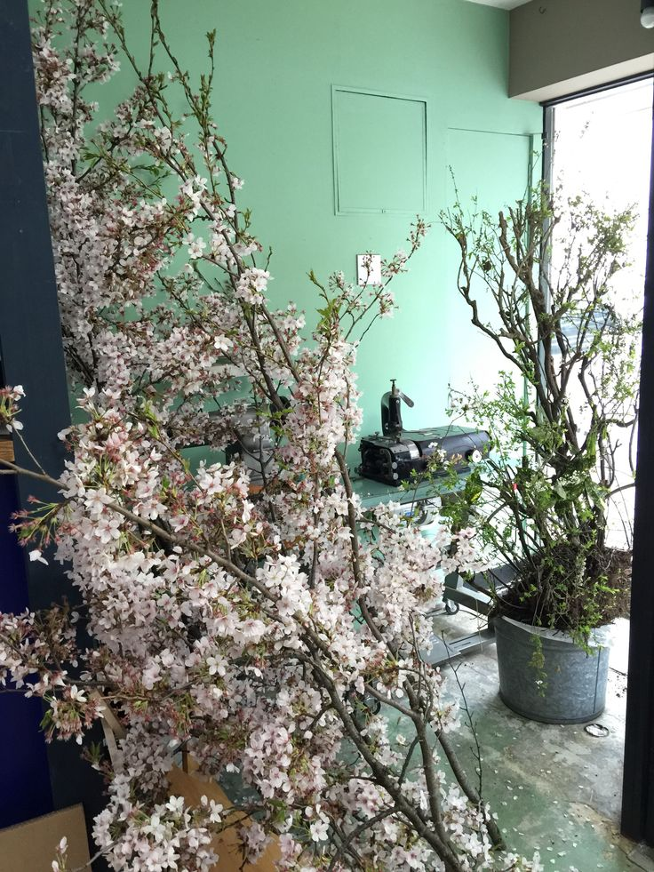 The cherry tree in the shop
