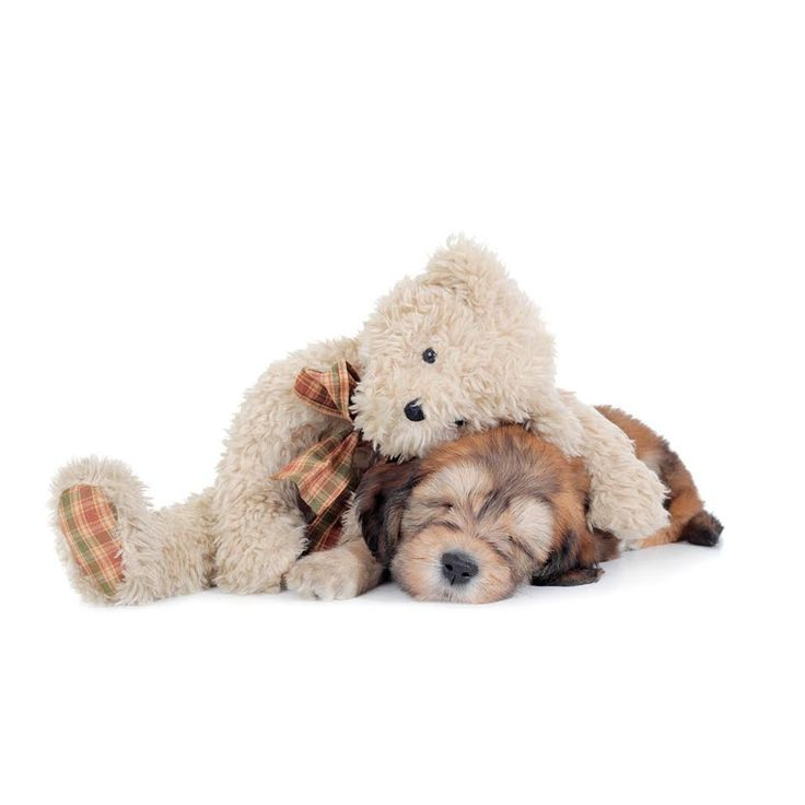 Puppy Prices | Teddybear Goldendoodles