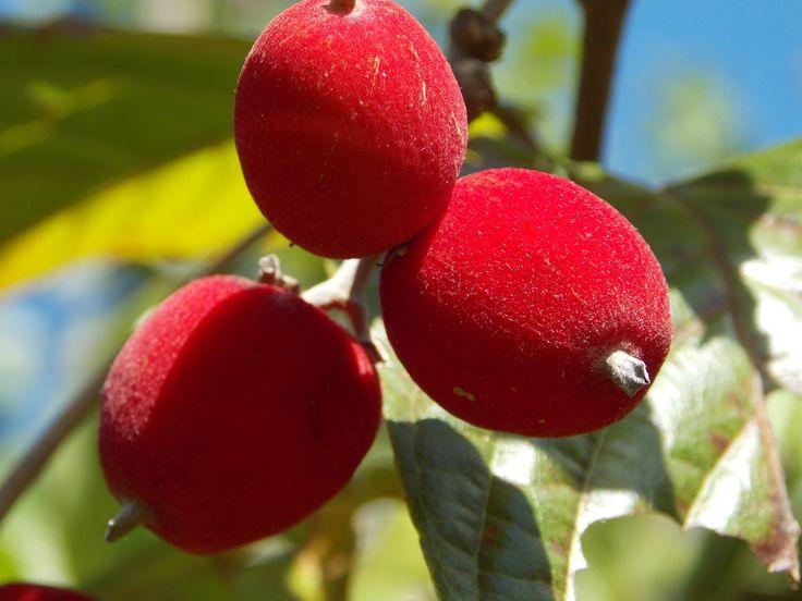 Veludinho do cerrado - Veludinho é nativo de Matas de cerrado brasileiro em transição com a mata atlântica.