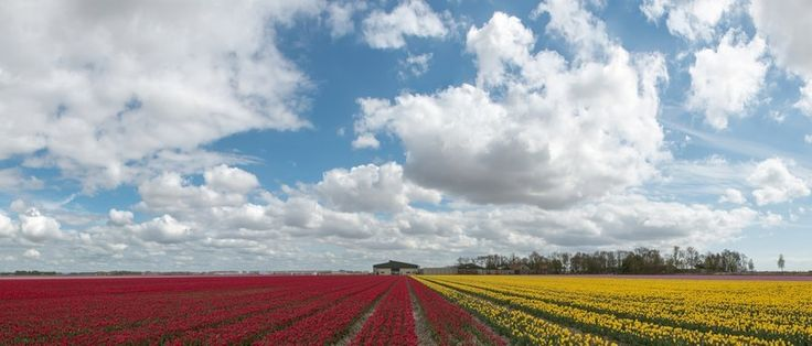 Fotobehang: Panorama van Rood-Gele Tulpen