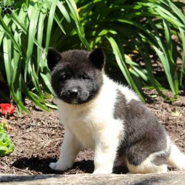 Neptune Akita Puppy For Sale In Pennsylvania Akita Puppies