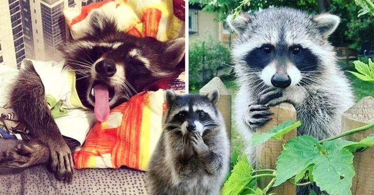 20 Imágenes de mapaches tan tiernas que se te derretirá el corazón