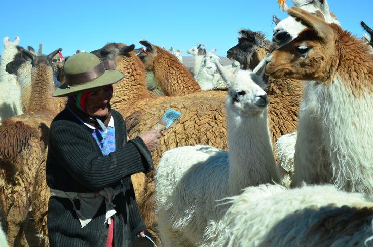 Nicasia Calisaya marcando a su ganado durante una atención veterinaria.