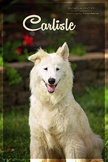 Australian Shepherd/Siberian Husky Mix Dog for adoption in Cincinnati, Ohio - Carlisle - $20 Reduced Fee