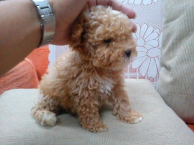 tea cup poodle - OMG he has Benji's colours