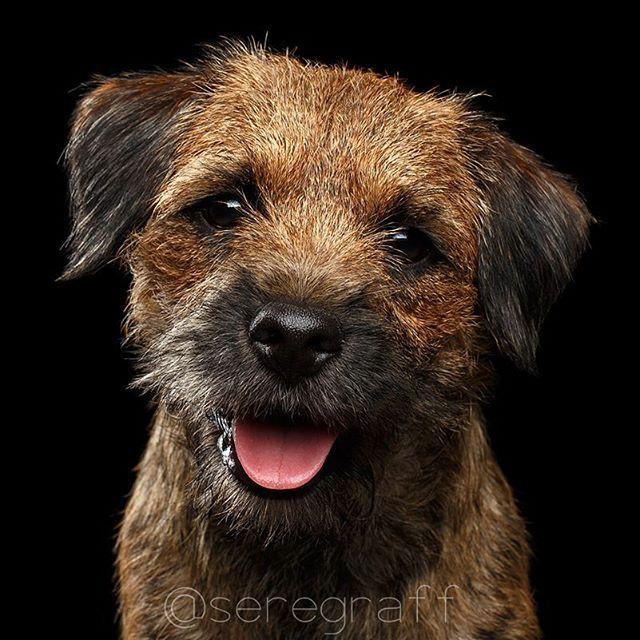 Border Terrier By Taran Sergey -  Это бордер терьер. У них такие забавные мордахи - seregraff.com