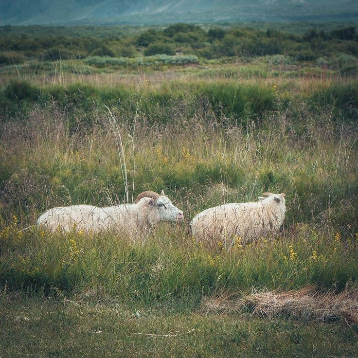 Just lie in the grass and relax! Sheep you have to be right? #moody_nature #rsa_outdoors #justgoshoot #artofvisuals #agameoftones #igrefined #worldprime #lost_world_treasures #ournaturedays  #topeuropephoto #living_europe #travel_drops #living_europe #moodygrams #unlimitedscandinavia #scandinaviantravels #igscandinavia #ig_sweden #loves_sweden #sweden_photolovers #swedishmoments #sweden #visitsweden #swedenimages #swedencolors  #visitscandinavia #sheep #ig_today  #thediscoverer…