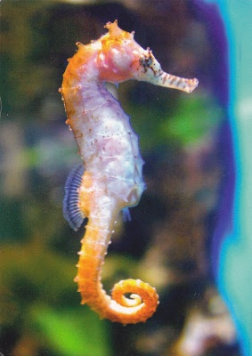 Seahorse for my aquarium? Yes, but I'd rather see them in their natural setting...