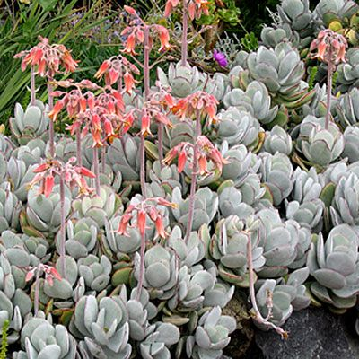Cotyldedon - Top Types of Succulents for Home Gardens - Sunset Cotyldedon These South African natives are characterized by forming opposing pairs of fleshy leaves. In spring, many send up spikes of coral bell-shaped flowers. Look for varieties with a mounding growth habit, such as Cotyledon orbiculata 'Pig's Ear, which can be used effectively in garden beds or container designs.