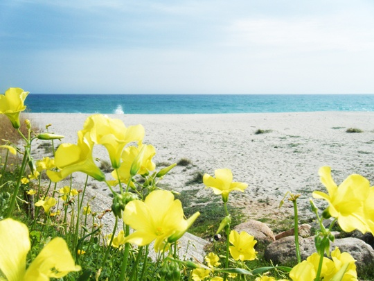 Sardinia - Museddu beach - Yellow flowers