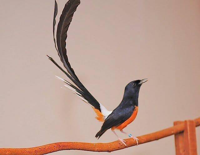 The White-rumped Shama (Copsychus malabaricus) is a small passerine bird of the family Muscicapidae. They are native to South and Southeast Asia, but have been introduced to Kaua'i, Hawai'i