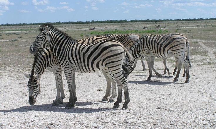 The migration of Burchell's zebras surpasses the great Serengeti migration.