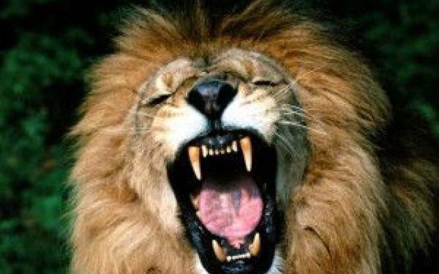 """Perchè il leone è il re della foresta? E' vero che l'ampia criniera e il ruggito possente gli conferiscono un aspetto fiero e regale, ma il leone noto come il re degli animali, non è né il più grosso, né il più forte dei felini.Allora per #""""releone"""""""