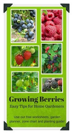 Easy tips for growing blueberries, raspberries, strawberries, blackberries, and gooseberries in your home garden.