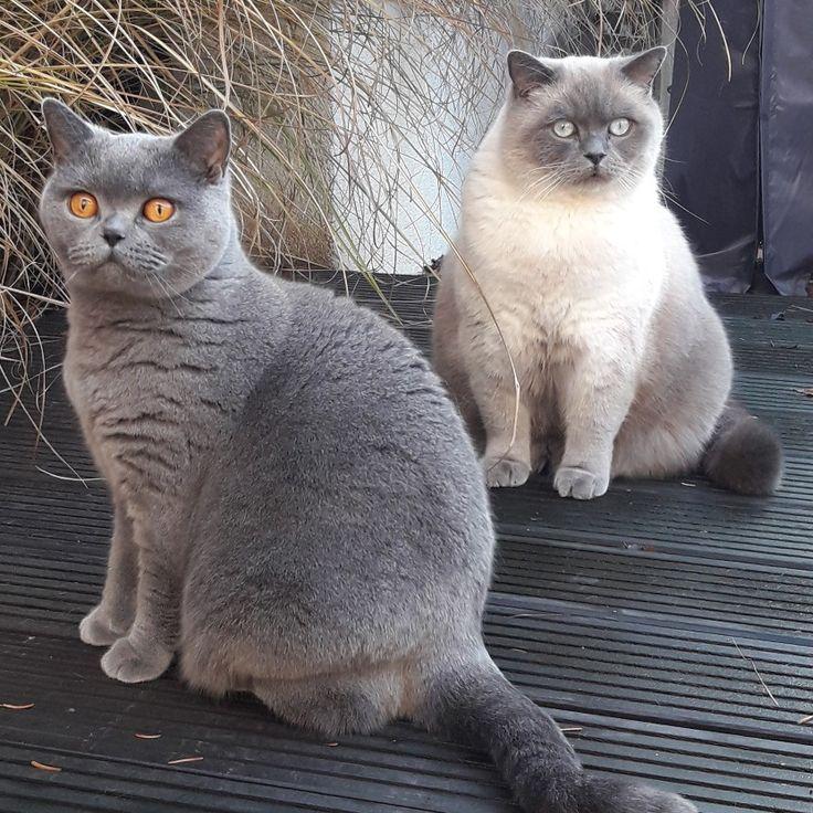 Brits korthaar blauw bluepoint Brits korthaar, Brits