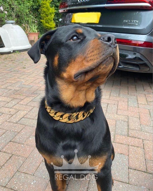 Such A Natural 32mm Gold Chain Luxury Dog Wear Nutrition Shop Now Regaldog Co Uk Regaldoguk In 2020 Dog Bling Dog Wear Luxury Dog