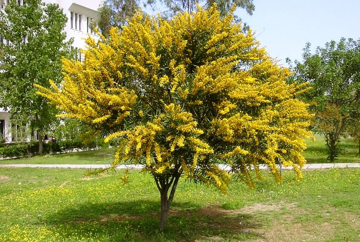 Acacia_cyanophylla