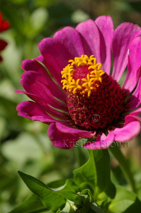 Nature Photography Pink Flower Photo Plant Nature Print Zinnia Flower Detail Petals Macro Art Print Photograph via Etsy