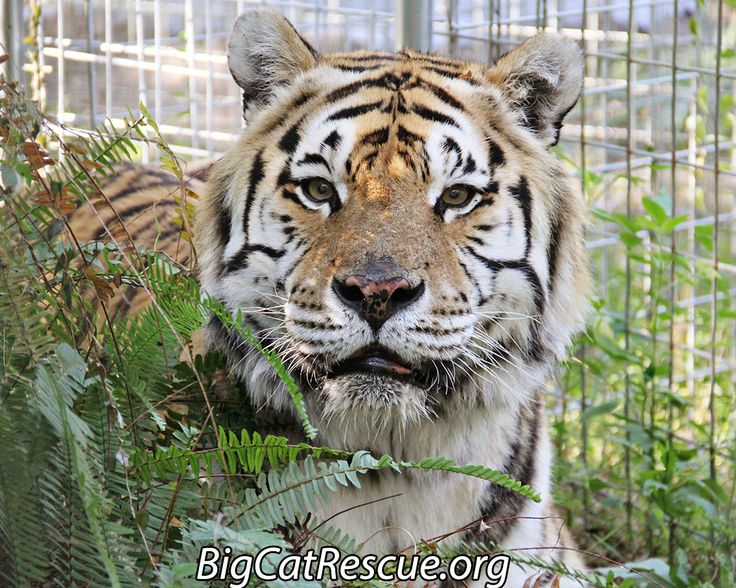 Big Cat Rescue's books for Amazon Kindle, iTunes iBooks & PDF have all been dropped to FREEGet YOUR FREE COPIES at ChatBigCats.com/books/