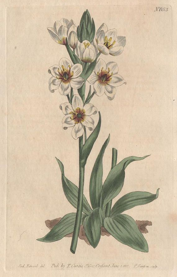 Ornithogalum Revolutum - Revolute-Flowered Star-of-Bethlehem. Native of the Cape of Good Hope, South Africa.  Original antique copper-line engraving with original hand colouring.  From Curtis's Botanical Magazine. 1804.