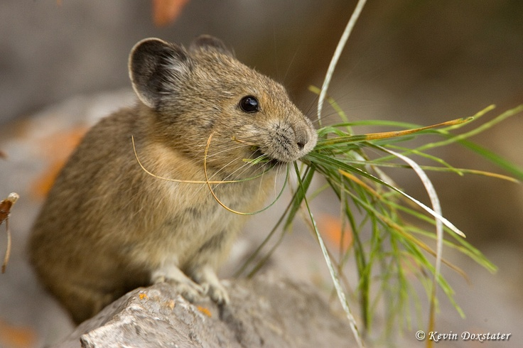 These ridiculously cute little creatures are...American Pikas