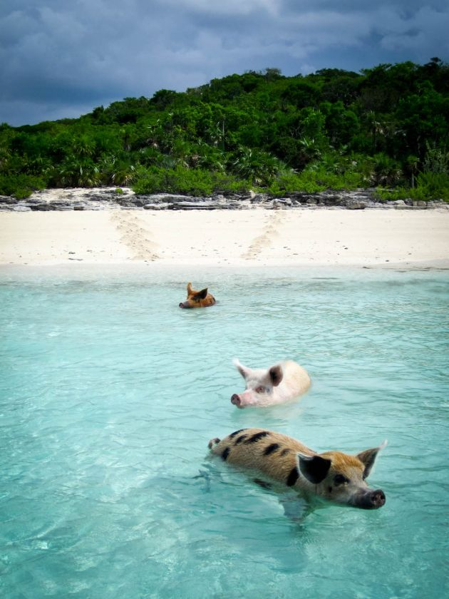 A beautiful tropical island where Wild Pigs swim in the crystal clear waters. Big Major Cay island in The Bahamas.