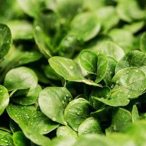 La mâche, une petite salade d'automne et d'hiver à semer au potager